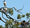 (1)Ibis and nest Centennial Park-1.jpg