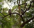 (1)Kookaburras Selkirk Park Killara.jpg