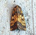 (2364) Frosted Orange (Gortyna flavago) (9671553911).jpg