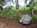 (Chelonoidis nigra) El Chato Reserve, Santa Cruz Galapagos )pic. u1.JPG