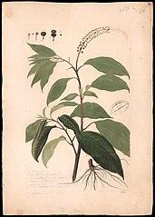 (Phytolacca icosanta, Linn)