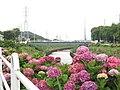Ōshimizu Sakaigawa Ajisai-rōdo, Fujisawa, Kanagawa.jpg