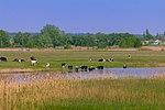 Берег Орілі, худоба на водопої.jpg