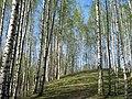 Березовый холм в Парголово - panoramio (1).jpg