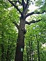 Віковий дуб на Вишгородськiй 02.jpg