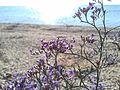 Дикі квіти на берегах Сиваша.jpg