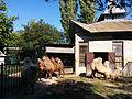 Зоологічний парк - верблюди.jpg