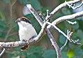 Красноголовый сорокопут - Woodchat Shrike - Lanius senator - Червеноглава сврачка - Rotkopfwürger (34894788674).jpg