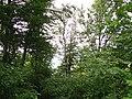 Лес на вершине Маркотхского хребта - panoramio (1).jpg
