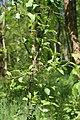 Невядомая зёлка ў Севастопальскім парку 13.JPG