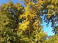 Полски клен - есенна окраска.jpg