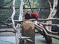Попугаи ара в Ялтинском зоопарке.jpg