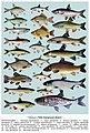 Риби Запорізької області. Табл.2.jpg