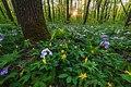 Святі Гори, квіти у лісі 01.jpg