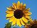 Сунцокрет (Helianthus annuus) Национални парк Козара.jpg