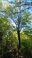 درختان زیبا در عباس آباد بهشهر - panoramio.jpg