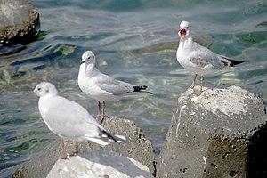رفتار مرغان دریایی نوروزی یا یاعو در کشور عمان، شهر مسقط، ساحل دریای عمان - عکس مصطفی معراجی 25.jpg