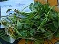 सांभार किंवा कोथिबीर Coriander (Coriandrum sativum).jpg