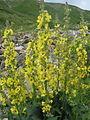 გულსოსანა Verbascum blattaria Moth Mullein.jpg