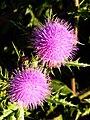 南國薊 Cirsium japonicum DC. var. australe Kitamura - panoramio (1).jpg