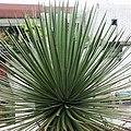 姬吹上 Agave echinoides - panoramio.jpg