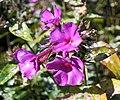 宿根福祿考 Phlox paniculata 'Robert Poore' -英格蘭 Brockhole, England- (32205520275).jpg