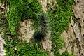 巨網苔蛾幼蟲 Caterpillar of Macrobrochis gigas - panoramio.jpg