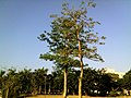 湛江海洋大学的一棵树 - panoramio.jpg