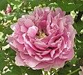 牡丹-迎華富 Paeonia suffruticosa 'Receiving Glory & Wealth' -洛陽王城公園 Luoyang, China- (12517021683).jpg