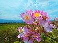 球磨川のツクシイバラ Rosa multiflora adenochaeta of Kumagawa River. - panoramio (3).jpg