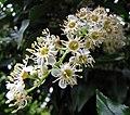 盧李梅(葡萄牙桂櫻) Prunus lusitanica -維也納高山植物園 Belvedere Alpine Garden, Vienna- (29125111665).jpg
