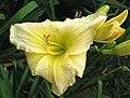 萱草 Hemerocallis Precious de Oro -香港動植物公園 Hong Kong Botanical Garden- (11901224685).jpg