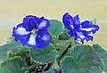 非洲紫羅蘭 Saintpaulia Ko's Double Haven -香港北區花鳥蟲魚展 North District Flower Show, Hong Kong- (27502995039).jpg