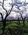 館城跡の桜.jpg