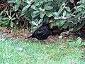 -2019-01-10 Male blackbird (Turdus merula), Trimingham, Norfolk (4).JPG