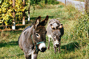 Photo of two donkeys (Equus asinus) in Italy.