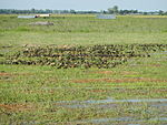 03326jfBirds Ducks Wetland Rice Fields Candaba Pampangafvf 16.JPG