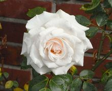 06.2010a white Rosa wp1.jpg