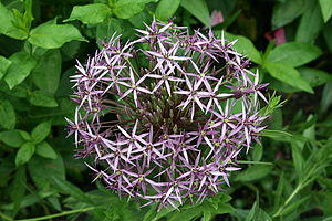 Allium cristophii - Persian Onion