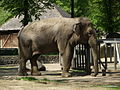 1. Słonica Magda - Zoo w Łodzi.jpg