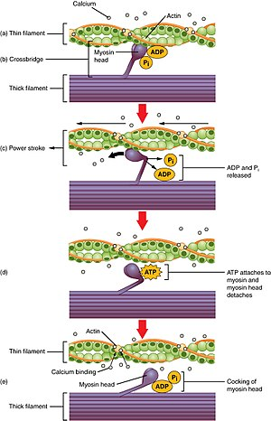 GLUT4 - Image: 1008 Skeletal Muscle Contraction