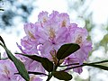 1100412 - Rhododendron - 170525 (34504686760).jpg