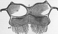 1911 Britannica - Bee - Abdominal Plate.png