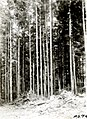 1932. Young even-aged hemlock stand. Grays Harbor County, Washington. (39337317884).jpg