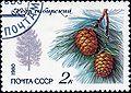 1980. Кедр сибирский.jpg