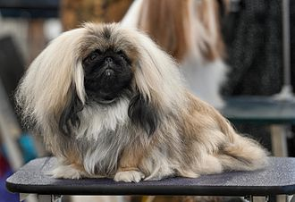 Pekingese - A long-haired Pekingese brushed out and ready for show