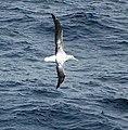 2007 Snow-Hill-Island Luyten-De-Hauwere-Wandering-Albatross-03.jpg