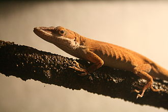 Herping - A studio set-up with a Carolina anole