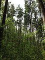 2013-05-10 14 42 04 View into the canopy of a thick Atlantic White Cedar swamp along the Cranberry Trail in Brendan T. Byrne State Forest.jpg