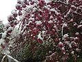 2014-05-06 09 31 06 Snow on a Crabapple in Lamoille, Nevada.JPG